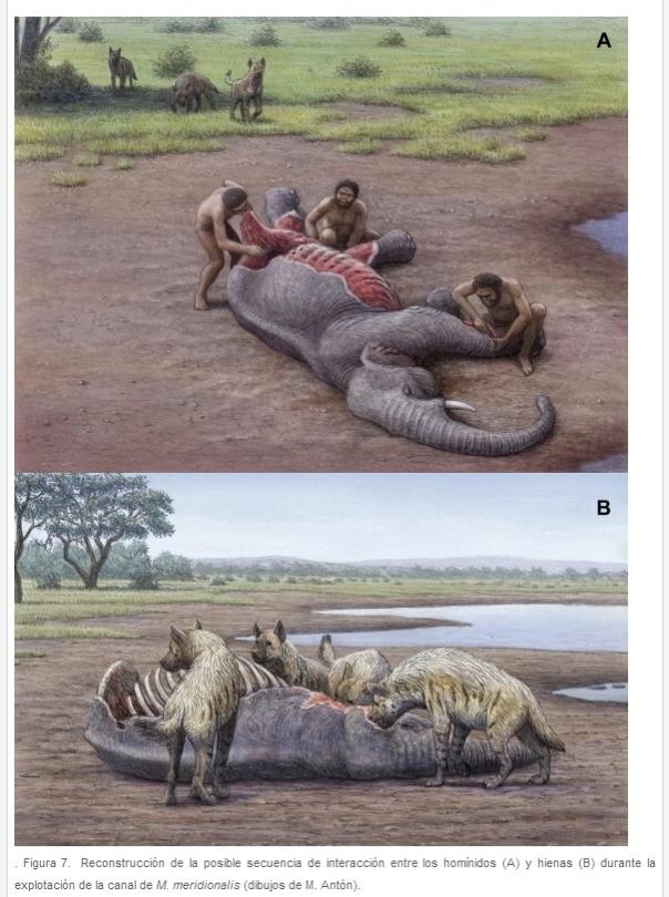 Reconstrucción de la posible secuencia de interacción entre los homínidos y hienas dibujos de M Antón